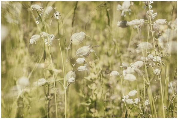 Sommerwiese mit Taubenkropf-Leimkraut 7517