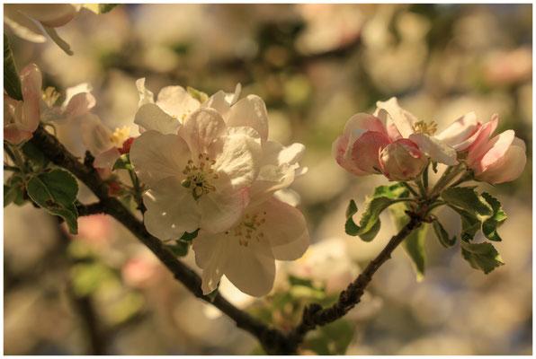 Apfelblüte 2587