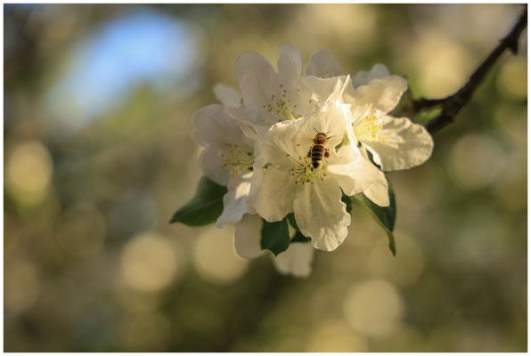 Apfelblüte mit Biene 2541