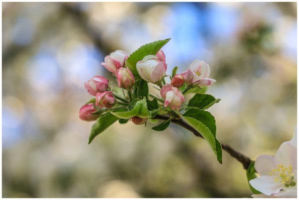 Apfelblüte 2634