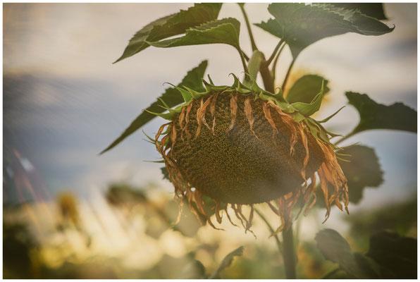 Sonnenblume 0406