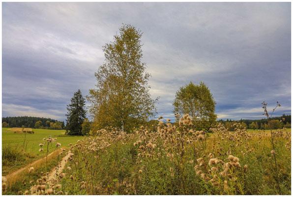 Landschaft im Irndorfer Hardt mit verblühten Acker-Kratzdisteln 8588