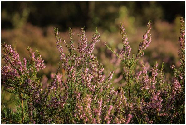 Heidekrautblüte im Pfrunger-Burgweiler Ried 3723