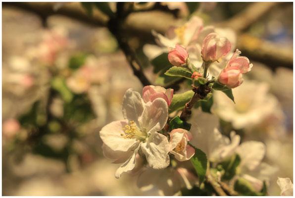 Apfelblüte 2558