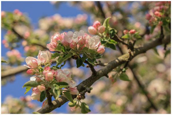 Zweig mit Apfelblüten 2463