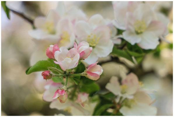 Apfelblüte 2647