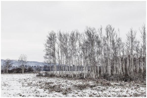 Landschaft mit Moorbirken im Pfrunger-Burgweiler Ried 5497