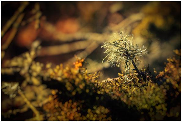 Cladonia portentosa - Strauchflechte 6148