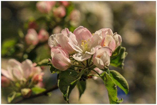 Apfelblüte 2621