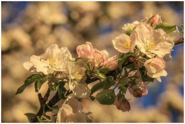 Apfelblüte 2593