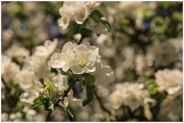 Apfelblüte 2680