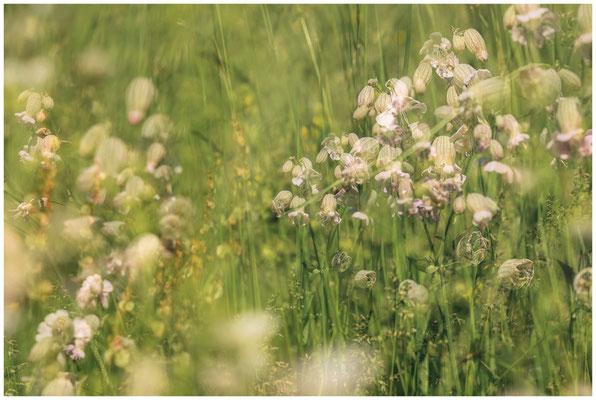 Sommerwiese mit Taubenkropf-Leimkraut 7514