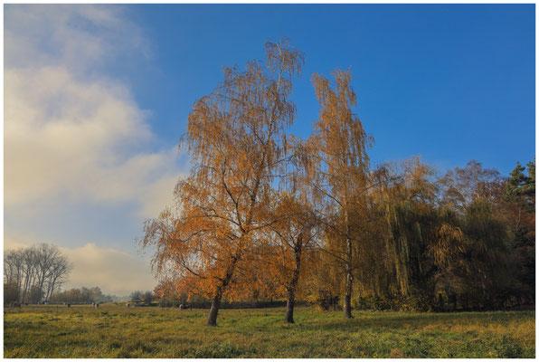 Herbstliche Birken mit Rindern 4787