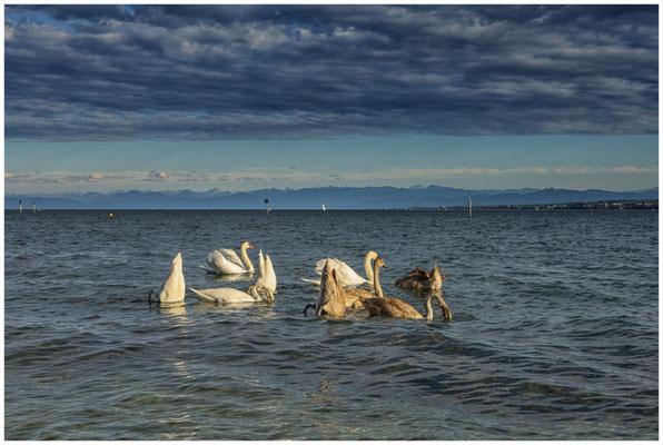 Schwäne auf dem Bodensee 0881