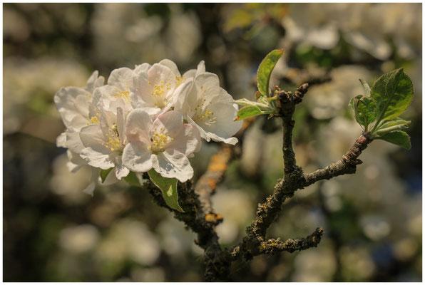 Apfelblüten 2718