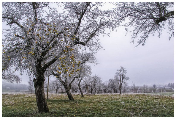 2054 Obstbäume mit Raureif bei Mahlspüren im Hegau