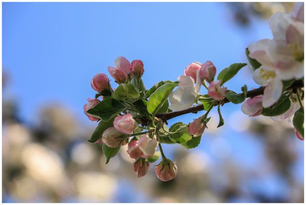 Apfelblüte 2674