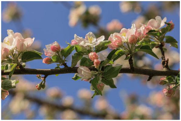 Zweig mit Apfelblüten 2461