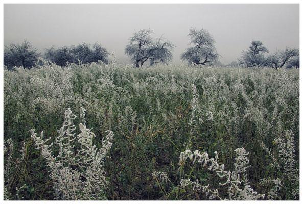 2025 Gründüngung und Obstbäume mit Raureif