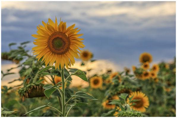 Sonnenblumen 0405