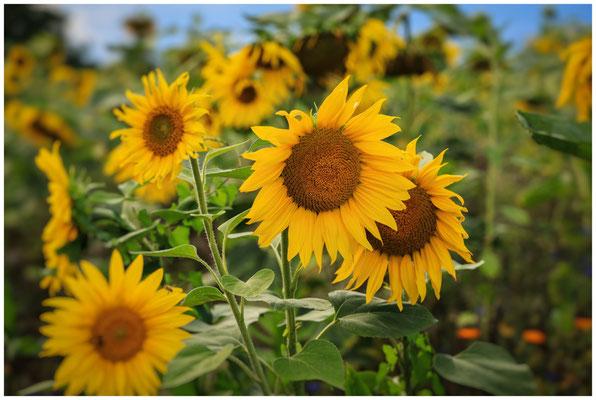 Sonnenblumen 0337