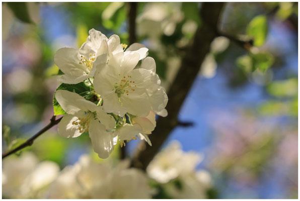 Apfelblüte 2616