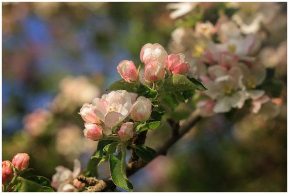 Zweig mit Apfelblüten 2465