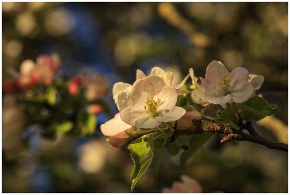 Apfelblüte 2559