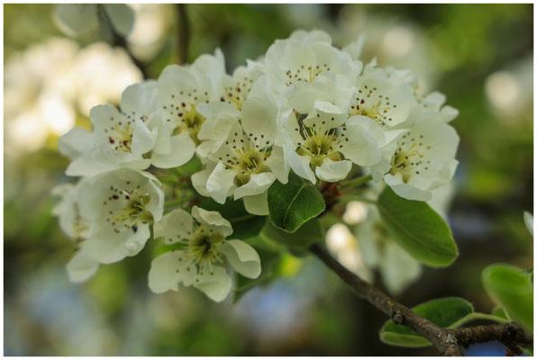 Birnenblüte 2369