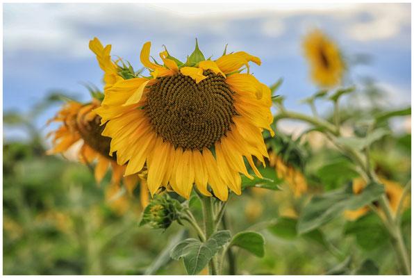 Sonnenblumen 0395