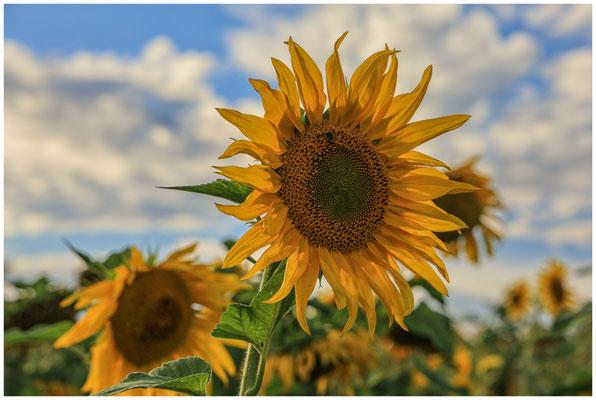 Sonnenblumen 0300