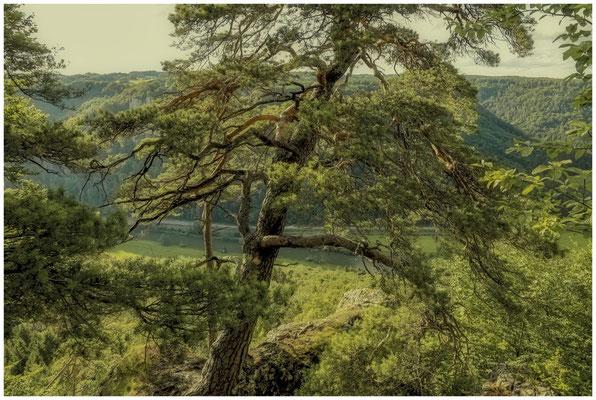 Kiefer oberhalb der Donau 7824