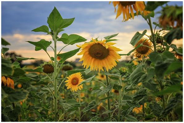Sonnenblumen 0407