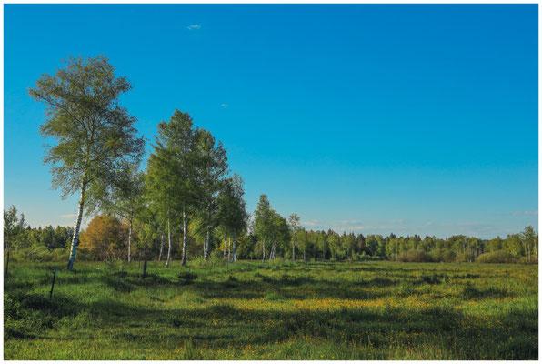 Riedlandschaft mit Birken und Feuchtwiese 7465