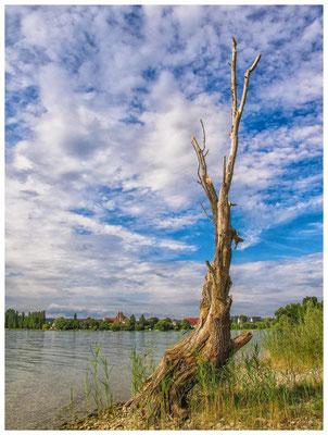 Der alte Baum auf der Insel Reichenau mit Blick auf die Kirche St. Peter und Paul 9240