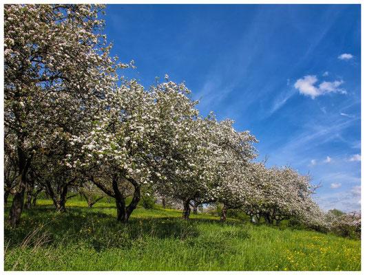 Blühende Obstbäume im Hegau 9041
