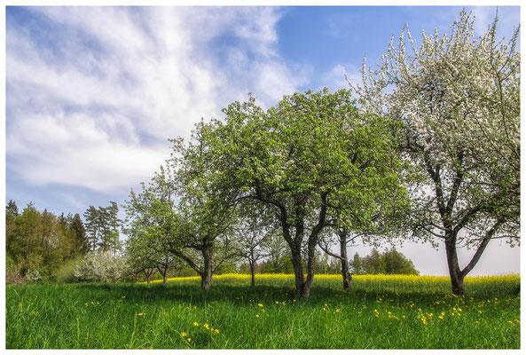 Obstbäume bei Bermatingen 3449