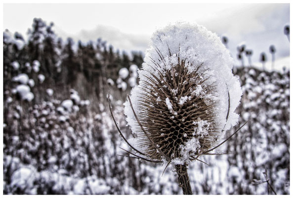 2252 Distel mit Schnee