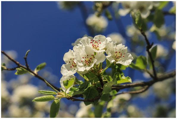 Birnenblüten vor strahlend blauem Himmel 2400