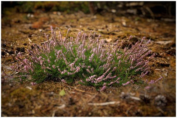Heidekrautblüte im Pfrunger-Burgweiler Ried 3745