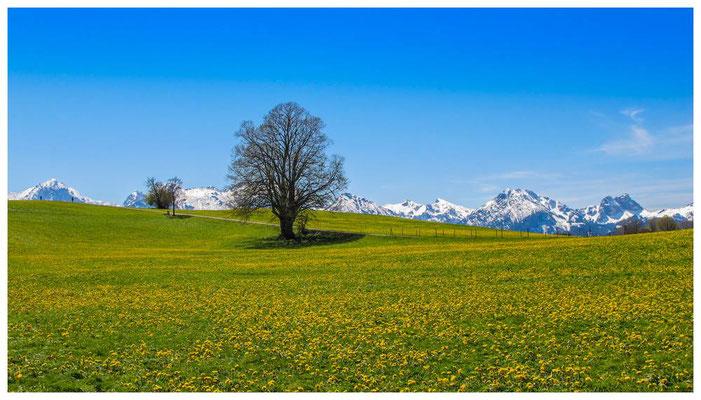 Frühlingswiese im Allgäu