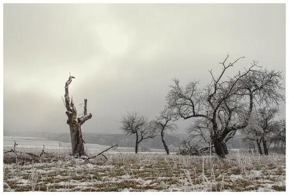 Winterliche Streuobstwiese mit Raureif 2546