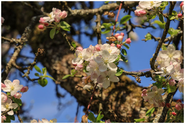 Apfelblüten 2721