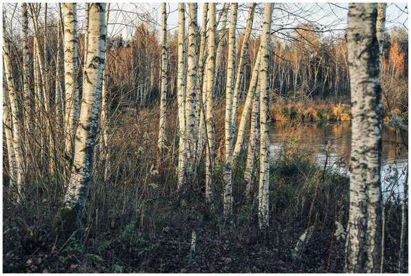 Birken am Großen Vogelsee 5032
