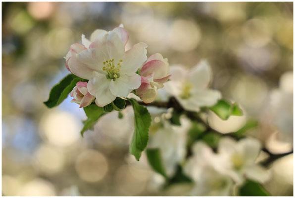 Apfelblüte 2660