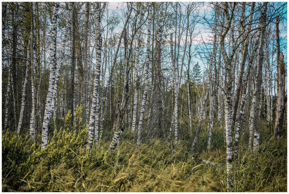 Moorbirken im Wurzacher Ried 3923