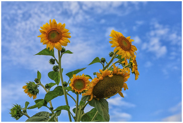 Sonnenblumen 0345