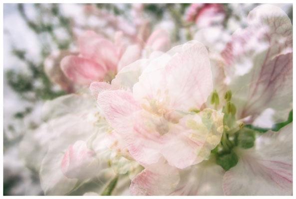 Apfelblüten auf einer Streuobstwiese bei Bermatingen 3483