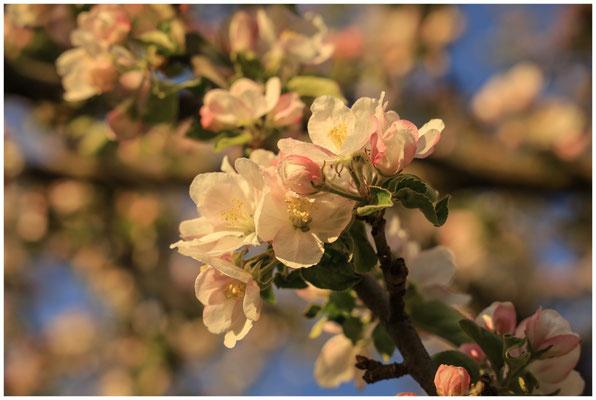 Apfelblütenzweig 2530