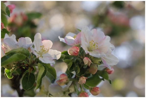Apfelblüte 2643